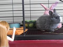Abby 1 (sakura_chan15) Tags: rabbit bunny netherlanddwarfrabbit