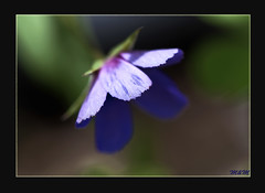 Color de Anagallis (Modest Minguella (On/Off)) Tags: flowers flores color flors anagallis canoneos500d ef100mmmacrousm mygearandme mygearandmepremium