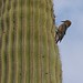 """Gila Woodpecker • <a style=""""font-size:0.8em;"""" href=""""http://www.flickr.com/photos/35034360491@N01/6891383875/"""" target=""""_blank"""">View on Flickr</a>"""