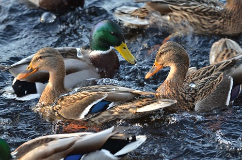 the fighting ducks-image13