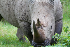 White Rhinocerous (robsall) Tags: africa nature animal animals closeup close kenya wildlife rhino nakuru riftvalley whiterhino whiterhinoceros lakenakuru ceratotheriumsimum wildlifephotography grassrhinoceros robsall grassrhino