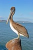 Pelican viewing the bay (Chip Shotz) Tags: sanfrancisco california ca water northerncalifornia bay nikon pelican vftw d7000