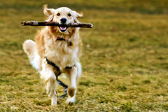 | Brady Running with Stick | (SOBPhotography) Tags: portrait rescue dog chien pet color dogs cane goldenretriever photography golden picture canine hond retriever perro hund photograph brady dogphotography goldenretrieverrescue
