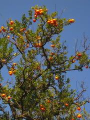 More Oranges. (George n' Rosie) Tags: spain mosque seville andalucia lemons tapas granada cordoba alcazar valentines oranges metropol topolino parador mesquita iberico jaman peawns