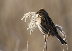 Reed bunting (richardblackburn1974) Tags: bird reed bunting marshes rainham