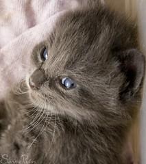 20080808_7990b (Fantasyfan.) Tags: pet cute animal topv111 eyes furry topv333 kitten gray fluffy stare sena fantasyfanin siirretty