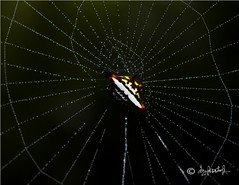 Spiny Spider (thiruzoovet) Tags: morning india color nature water rain canon insect spider pattern web spiderweb rainy fiber chennai due tamron90mm gardenspider vandalur spiderindia indianspiders canon580exii spinyspider faunaofindia spidersofindia indianfauna rebelt2i canonrebelt2i gardenspinyspider
