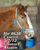 Hip #638 (Rock and Racehorses) Tags: amish belgian camelot draft workhorse feedlot ska0788