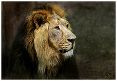 LION 2011 119 (ENOU2011) Tags: animals artisticphotography skeletalmess lagaleriedesanimaux