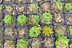 Succulents  & Cacti from Graaf-Reinet South Africa (JusBrown) Tags: africa cactus cacti south nursery lithops cape eastern succulents graafreinet lithop obesa