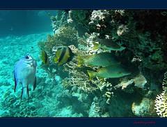 L'intruso anticonformista - The intruder nonconformist (Jambo Jambo) Tags: sea mare redsea egypt sharmelsheikh reef egitto corals barrieracorallina redseabannerfish marrosso coralli pescebandiera grandemaregroup pescefarfallabandiera azzannatorestriato jambojambo samsungwp10 grugnitoremaculato