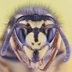 Wasp (German Wasp, Vespula germanica) (Johan J.Ingles-Le Nobel) Tags: portrait eye face yellow hair eyes wasp head critter jaw shield supermacro diffuser yellowjacket antennae topaz mandible hymenoptera extrememacro compoundeye vespidae mandibles photostack vespulagermanica wasphead simpleeye macrostack waspface zerenestacker johanjingleslenobel germanwaspface germanwasphead