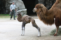Baby Male Bactrian Camel (9 of 32) (Mark Dumont) Tags: baby animal zoo mark cincinnati camel bactrian dumont