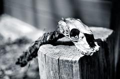 deer skull panF (itspiv) Tags: delete10 deleted7 deleted9 deleted6 deleted2 deleted4 delete3 deleted5 deleted1 deleted8 deleted11