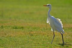 Egret (Sharon Dow Photography) Tags: green nature grass nikon egypt egret naturalworld marsaalam portghalib d3100