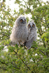 Wild long eared Owl chick (Paul Miguel) Tags: wild two baby cute bird nature photography countryside spring eyes funny long wildlife pair yorkshire farmland chick raptor owl stare prey staring hedgerow eared
