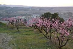 Melocotoneros en flor, Subirats (esta_ahi) Tags: barcelona españa spain flor penedès rosaceae melocotoneros presseguers prunuspersica subirats испания santpaudordal