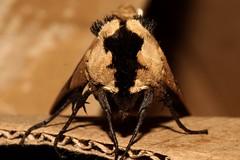 Arrow Sphinx - Lophostethus dumolinii (mgrimm82) Tags: butterfly tanzania moth lepidoptera sphingidae matema animalia arthropoda lakemalawi schmetterling eastafrica insecta nachtfalter pterygota mbeya tukuyu lakenyasa bombycoidea kyela smerinthini lakenyassa taxonomy:class=insecta taxonomy:order=lepidoptera taxonomy:kingdom=animalia taxonomy:phylum=arthropoda taxonomy:subclass=pterygota taxonomy:family=sphingidae smerinthinae sphingidaemundi taxonomy:tribe=smerinthini lophostethusdumolinii lophostethus taxonomy:binomial=lophostethusdumolinii taxonomy:superfamily=bombycoidea taxonomy:subfamily=smerinthinae arrowsphinx taxonomy:genus=lophostethus taxonomy:species=dumolinii arrowhawkmoth taxonomy:common=arrowhawkmoth taxonomy:common=arrowsphinx inaturalist:observation=585048