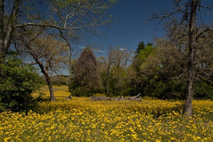 Fields of Yellow (Eye of the Storm Photography) Tags: flowers field yellow landscape texas