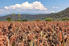 Sorghum field_2582 (hkoons) Tags: cactus plants mountains clouds rural cacti landscape mexico farm country farming scene sage hills soil dirt vegetation farms sorghum produce agriculture shrub arid scrubs furrows furrow stateofguerrero