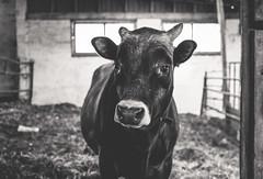 glassy eyed bull (Jen MacNeill) Tags: blackandwhite bw animal barn cow farm horns bull jersey bovine jennifermacneillphotography