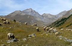 vallon du Lauzanier (5) (b.four) Tags: mountain montagne sheep montagna mouton larche alpesdehauteprovence pecora coth hauteubaye rubyphotographer coth5 ruby10 ruby15 ruby20