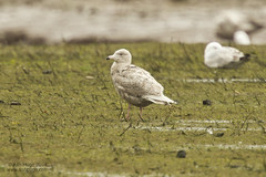 "Glaucous Gull, Hayle Estuary, 21.04.14 (A.Hugo) • <a style=""font-size:0.8em;"" href=""https://www.flickr.com/photos/30837261@N07/13971381143/"" target=""_blank"">View on Flickr</a>"