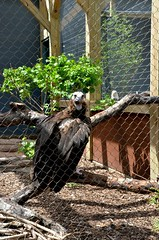 Cinereous Vulture (Aegypius Monachus) (Adventurer Dustin Holmes) Tags: bird birds animal animals zoo aves vultures stlouiszoo vulture blackvulture animalia 2014 aegypius falconiformes accipitridae scavengerbird cinereousvulture chordata eurasianblackvulture monkvulture aegypiinae scavengerbirds amonachus