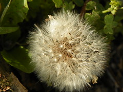 5-1-14 035 (LeeLee's pictures) Tags: 5114 mississippiriver woods nature dandelions yellow flower wildflower weeds makeawish white flyaway