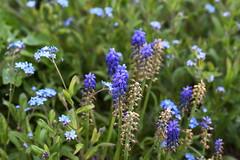 DSC_1143 (PeaTJay) Tags: flowers plants macro nature gardens fauna outdoors reading flora sigma micro closeups berkshire lowerearley nikond750