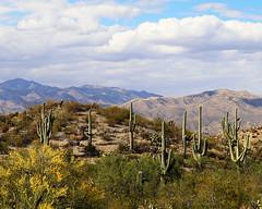 Saguaro Landscape, Cactus Forest Trail – Saguaro NP East (studioferullo) Tags: park arizona cactus plants plant nature landscape nationalpark tucson saguaro