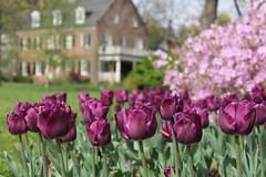 Sherwood Gardens ~ HBW & HWW! (karma (Karen)) Tags: flowers houses windows gardens dof azaleas tulips bokeh maryland baltimore bushes sherwoodgardens 4spring hbw hww bokehwednesdays windowwednesdays
