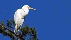 White Heron - (Kotuku) (Stonez06) Tags: white heron napier andersonpark kotuku