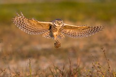 Cleanup Crew (Melis J) Tags: bird florida owls burrowingowl dungball burrowingowlwithdung