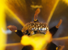 wiosna Frhling spring in unsern Garten (arjuna_zbycho) Tags: flowers spring blumen insekt kwiaty frhling wiosna badenbeiwien