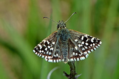 Pyrgus malvae - the Grizzled Skipper (BugsAlive) Tags: uk macro nature animal butterfly insect outdoor wildlife butterflies insects lepidoptera wiltshire hesperiidae grizzledskipper pyrginae pyrgusmalvae europeanbutterflies liveinsects