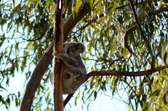Koala (*cece*) Tags: koala logan seq seqld