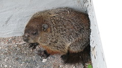 Woodchuck - YD00174 (hammerron) Tags: ground woodchuck hog