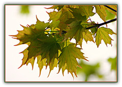 Spring Has Sprung (bigbrowneyez) Tags: green primavera nature beautiful leaves foglie leaf spring maple branches natura fresh frame points tips stunning belle elegant fabulous delicate striking artful mapleleaves cornice mapletrees bellissime
