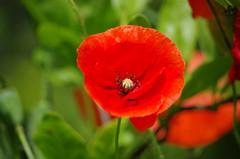 Jardin des plantes - Toulouse (31) (FloLfp) Tags: toulouse 31 coquelicot flore
