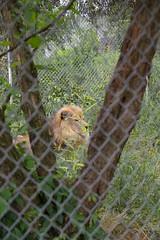 Roman, a lion (whereisjulie?) Tags: cougar ocelot serval caracal kinkajou