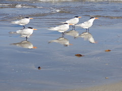 Royal Terns (amir85) Tags: texas royaltern padreislandnationalseashore