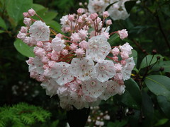 Kalmia latifolia (mountain laurel) (kevinandrewmassey) Tags: linvillegorge n kalmia latifolia mountain laurel plant flower wildflower flora