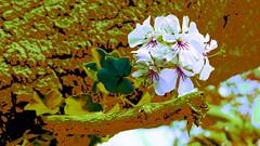 Fantasy Flora! (maginoz1) Tags: autumn abstract art canon flora australia melbourne victoria fantasy manipulate bulla g3x may2016