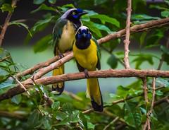 _DSC7423_lr (m3dborg) Tags: bird birds animal gteborg rainforest wildlife sony gothenburg tropical tamron ssm fglar fgel 70300 universeum f456 regnskog a77ii