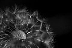 Dandelion (Mono) - May 2016 (GOR44Photographic@Gmail.com) Tags: wild bw white black flower macro canon mono 100mm seedhead hatfield 5d 100mmf28 canon100mm gor44