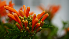 Orange flowers (judith511) Tags: vine orangeflowers pyrostegiavenusta orangetrumpetcreeper naturethroughthelens