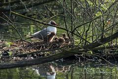 gull chicks (debraflynnphotography) Tags: birds sussex chicks wildfowl wwtarundel