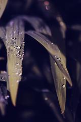 bejewelled (I AM JAMIE KING) Tags: plant green nature water rain garden grid leaf shiny flash bubble droplet strobist