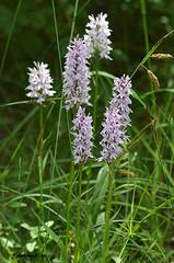 7 DSC_0045 (Pep Companyo - Barral) Tags: barcelona fleurs de la flora natura catalunya orquideas flors guardiola flos bergueda josep pobla lillet orquidies flauers companyo barralo dactilorhiza